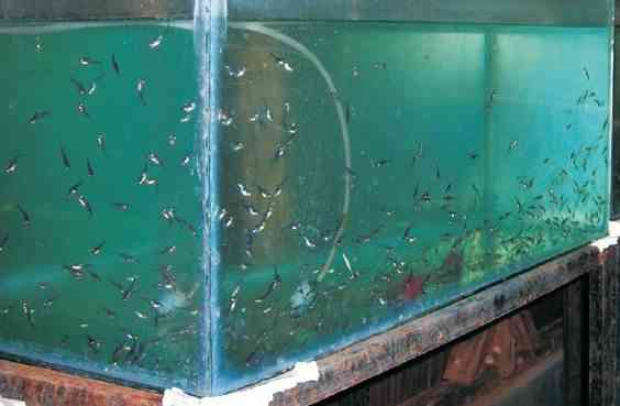 Pemeliharaan Larva Patin di Aquarium
