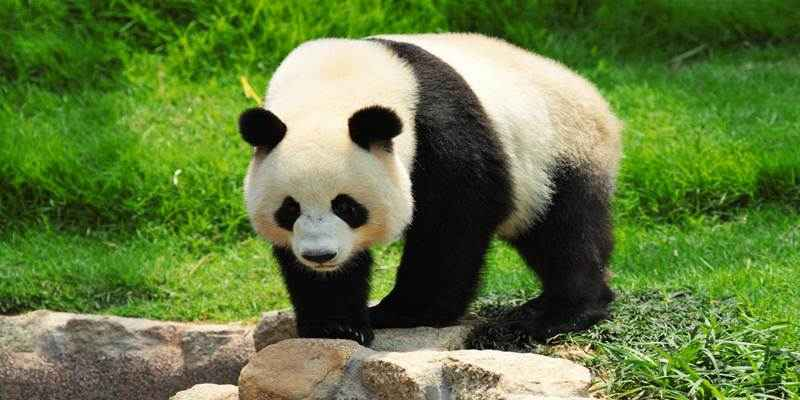 Populasi Panda Turun