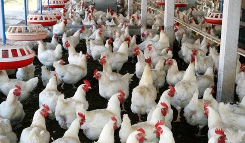 sistem-bagi-hasil-usaha-ayam-broiler