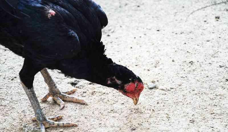 ayam kampung 3