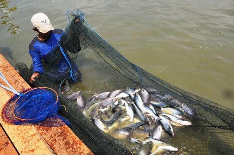 Membuat Pakan Buatan Ikan Patin