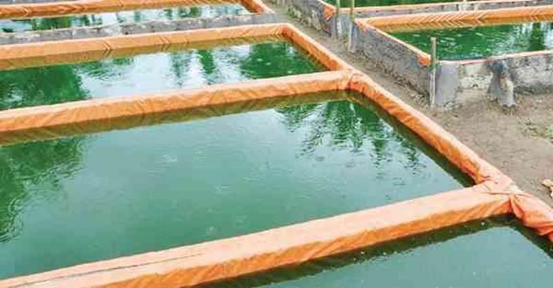 kolam budidaya patin