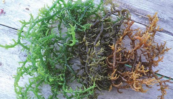 kunci sukses budidaya rumput laut
