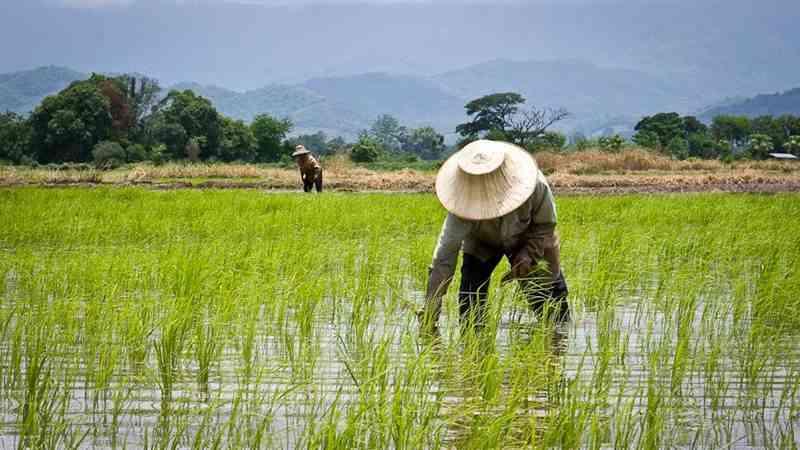 pak tani di pertanian padi