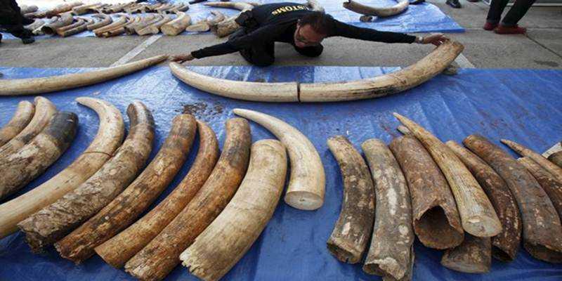 Gading Gajah Masih Menjadi Primadona di Pasar Gelap
