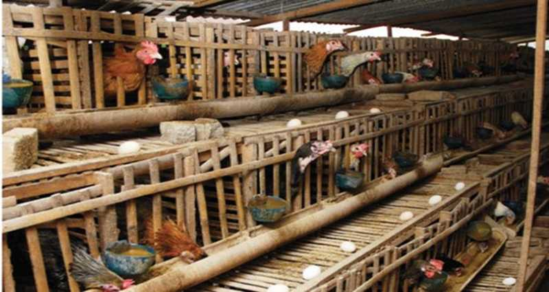 Hitung Kebutuhan Jumlah Kandang Ayam Petelur