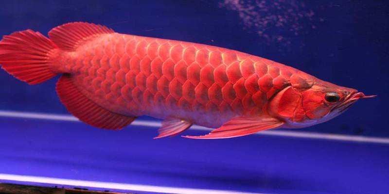 Ikan Hias Predator ini Masih Diburu