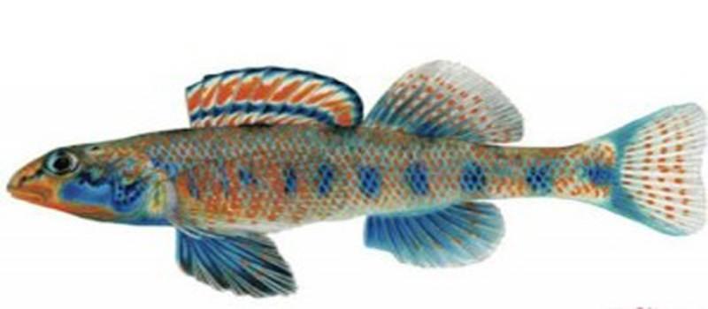 Ikan Obama, Spesies Baru Asal Amerika Serikat