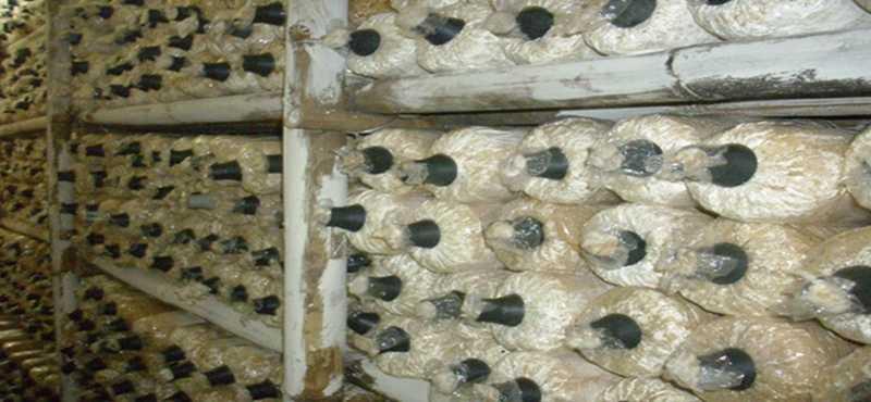 Jamur tiram kumbung