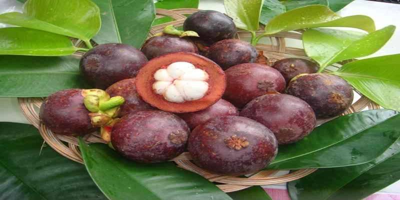 Kegunaan dan Agroekologi Manggis