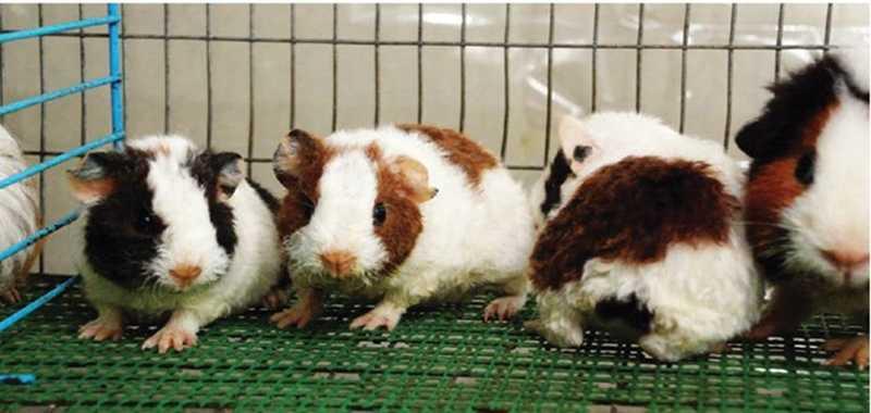 Manajemen Reproduksi Guinea Pig