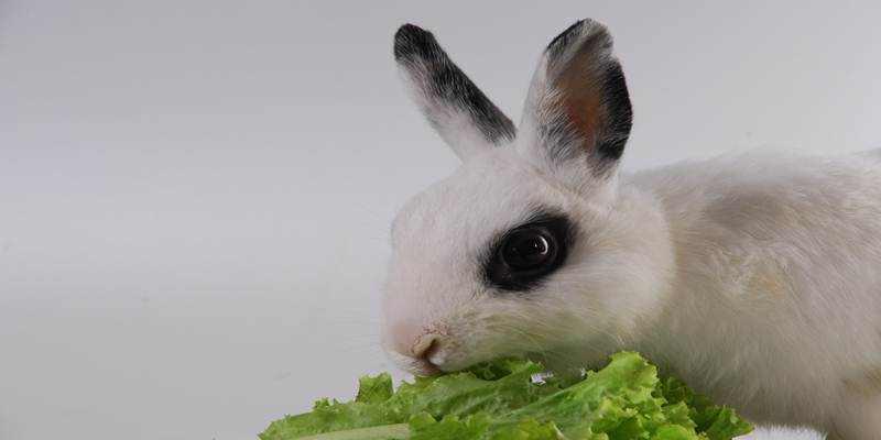 Memilih Makanan Untuk Kelinci