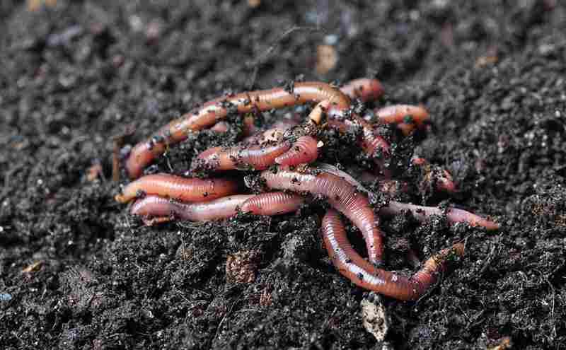 Mengenal Cacing Tanah