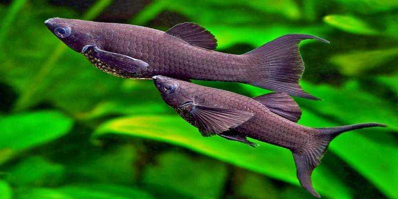 Mengenal Ikan Black Moly