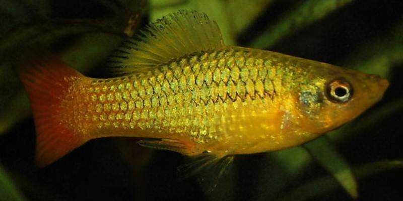 Mengenal Ikan Hias Variatus platy