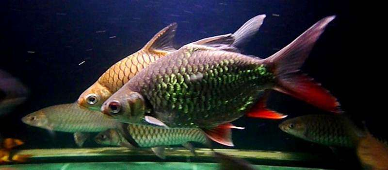 Mengenal Ikan Lalawak
