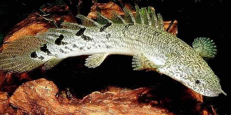 Mengenal Ikan Naga