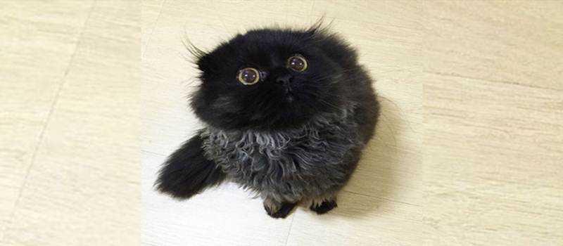 Mengenal Kucing Gimo