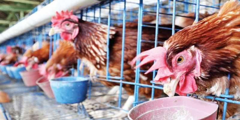 Ramu Pakan Ayam Petelur yang Tepat