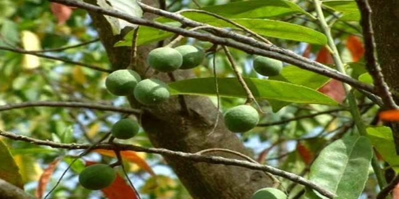 Tips Budidayakan Buah Jenitri