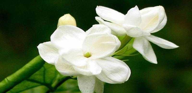 Tips Menanam Bunga Melati