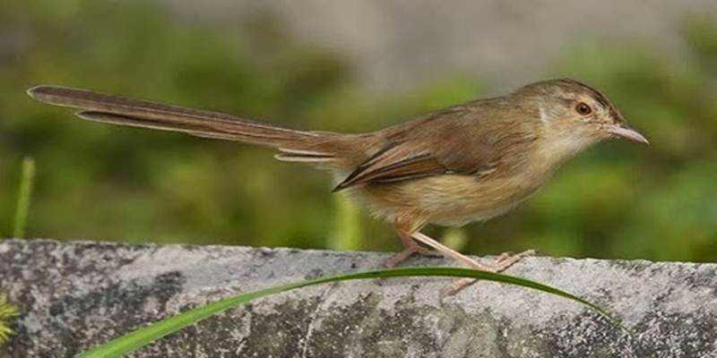 Tips Merawat Burung Prenjak