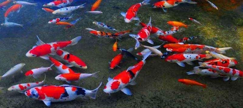 Tips Merawat Warna Ikan Koi Agar Tetap Tajam