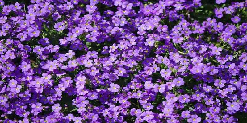 Tips Mudah Menanam Bunga Violet