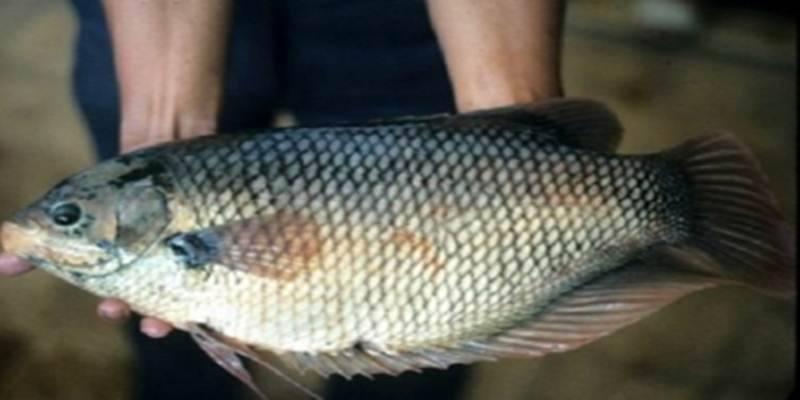 Waspada! Inilah Ciri-Ciri Ikan Terkontaminasi Sianida