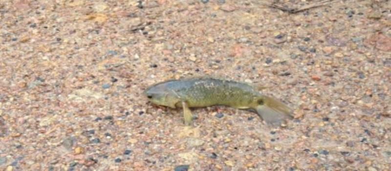 Wow, Ikan ini Bisa Jalan di Daratan