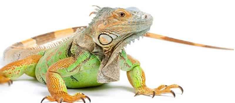 Yuk, Berternak Iguana