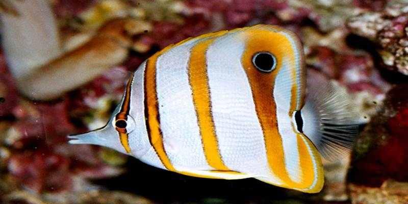 Yuk Budidaya Ikan Hias Kupu-Kupu