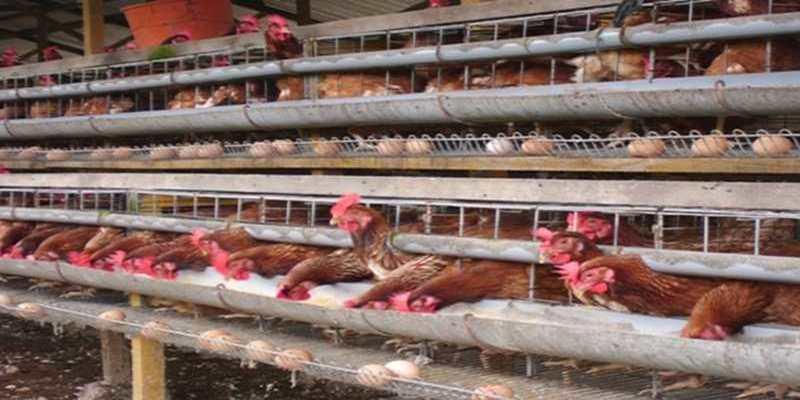 Mengganti Ayam Afkir
