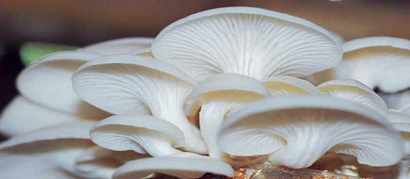 usaha-jamur-tiram