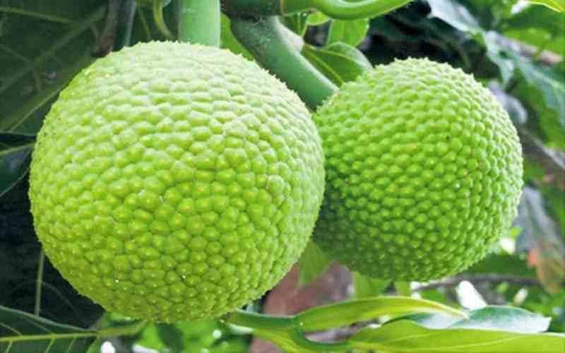 Agroekologi dan Perbanyakan Tanaman Sukun