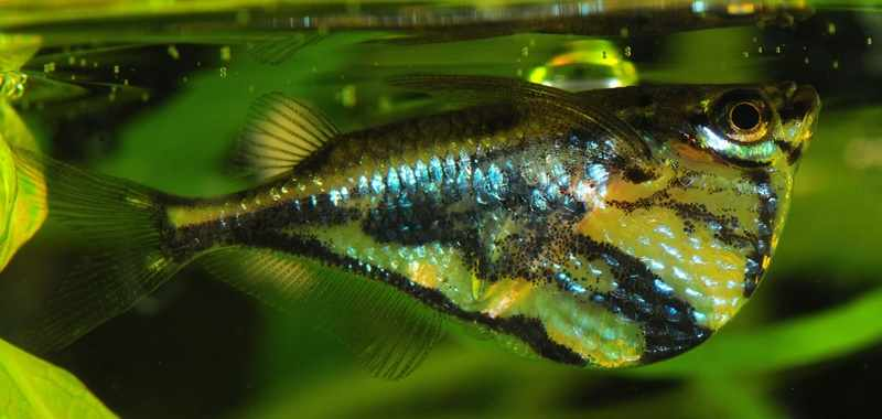 Benarkah Ikan ini dapat Melompat