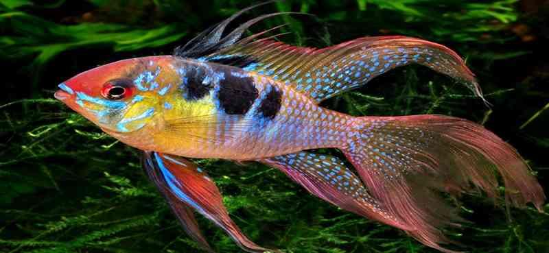 Berminat Budidaya Ikan Mikrogeophagus Ramirezi