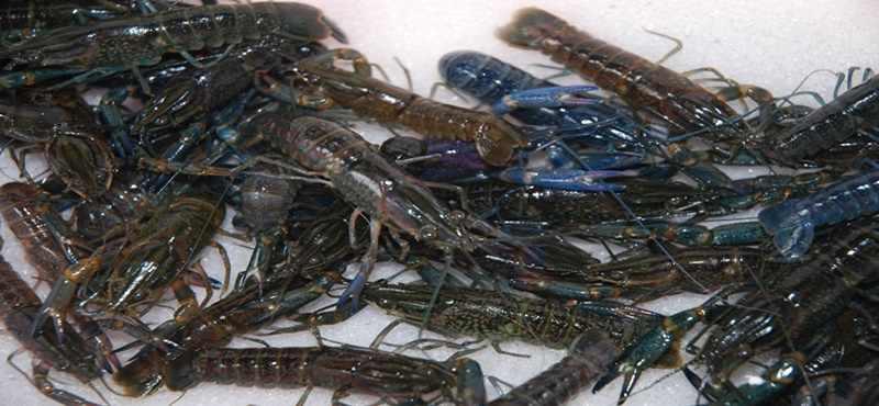 Inilah Cara Budidaya Lobster di Pantai