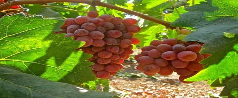 Cara Memperbanyak Tanaman Anggur