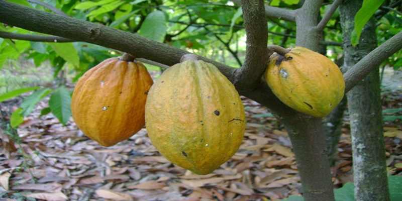 Inilah Alasan Kakao bisa Mengungguli Kopi