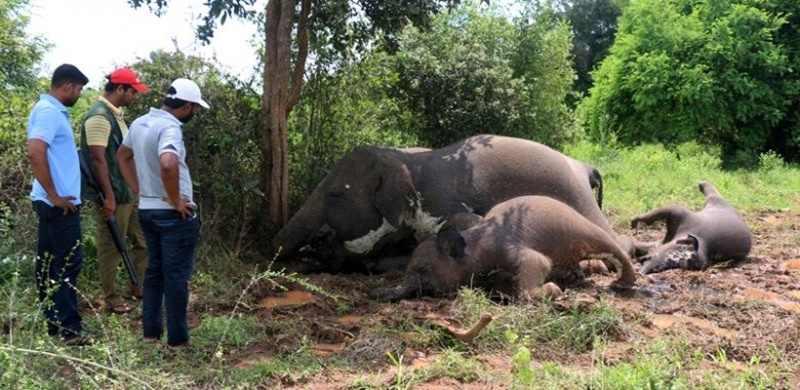 Malang! Empat Gajah Mati Tersambar Petir di Sri Lanka