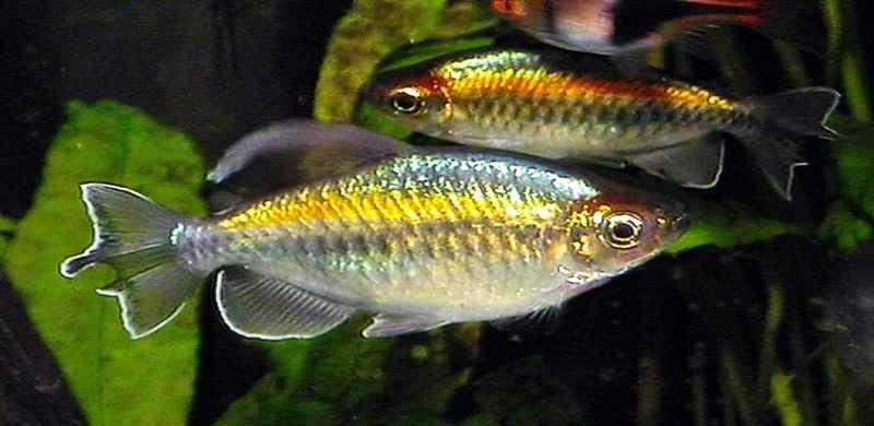 Melihat Peluang Bisnis Budidaya Ikan Congo Tetra