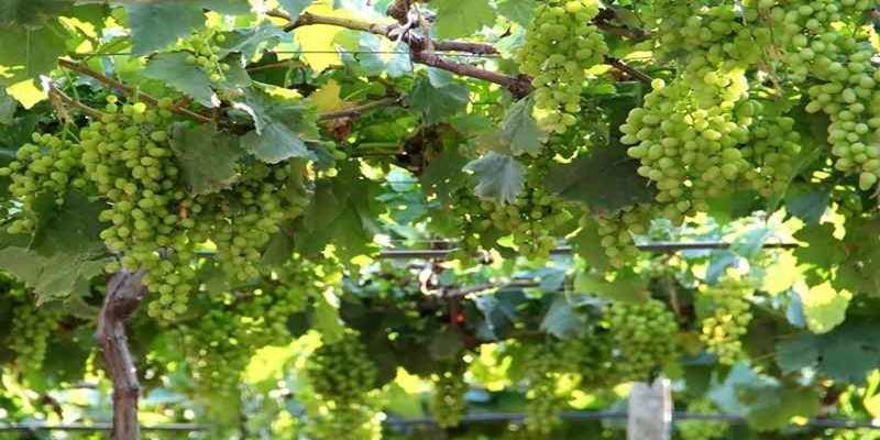 Membudidayakan Tanaman Anggur