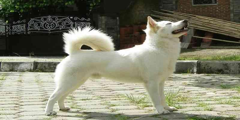 Mengenal Anjing Kintamani