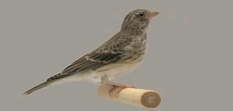 Mengenal Burung Bersuara Merdu