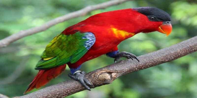 Mengenal Burung Burung Kasturi Ternate
