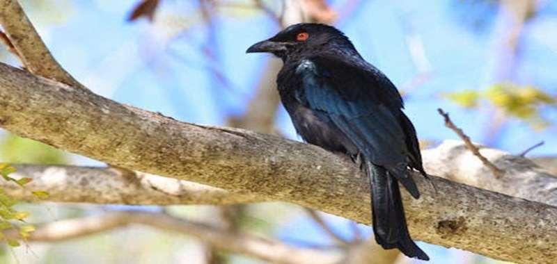 Mengenal Burung Srigunting Lencana Asal Papua