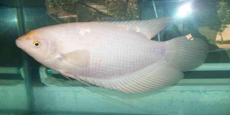 Mengenal Ikan Gurame Hias