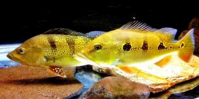 Mengenal Ikan Sungai Amazon Orinoco Peacock Bas