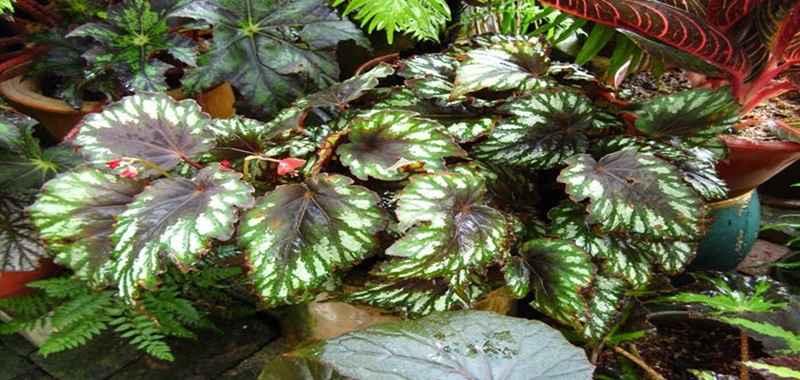 Mengenal Tanaman Begonia